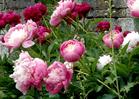 fleurscoupeesbio_pivoine.jpg